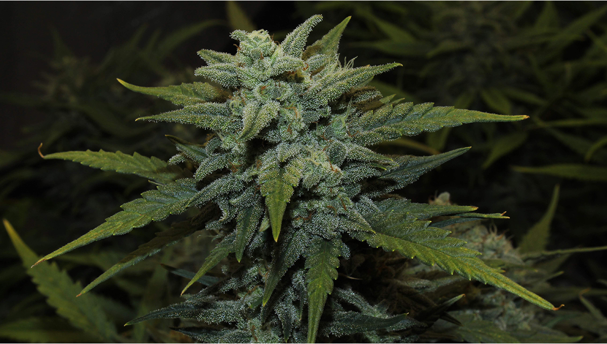 Chemdawg Auto Cannabis Strain Week-by-Week Guide