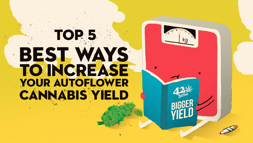 The Top 5 Best Ways to Increase Your Autoflower Cannabis Yield