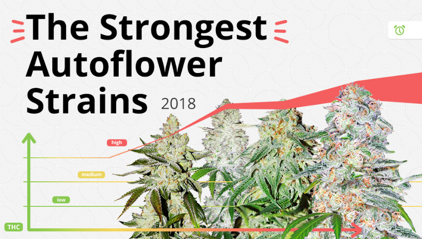 The 5 Strongest Autoflower Strains