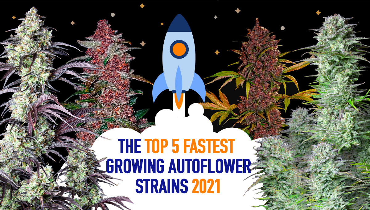 The Top 5 Fastest Growing Autoflower Strains