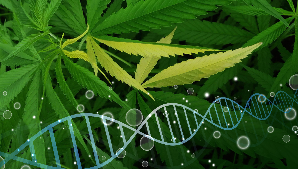7 Common Cannabis Plant Mutations