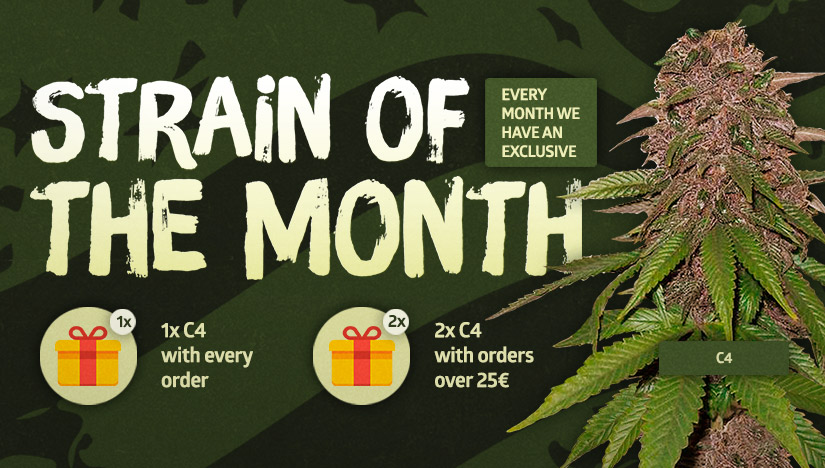 The Explosive C4 is Our Strain of the Month