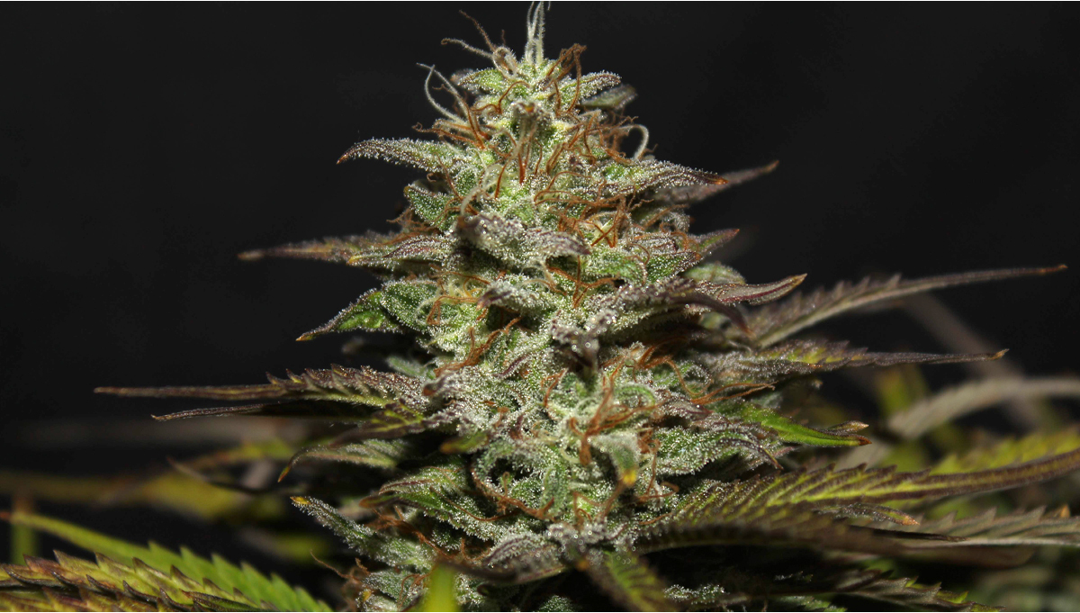 Cheese Auto Cannabis Strain Week-by-Week Guide