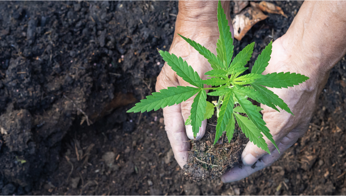 A Full Guide to No-Till Cannabis Farming
