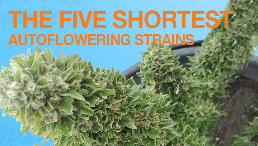 The Five Shortest Autoflower Strains - A Fast Buds Guide
