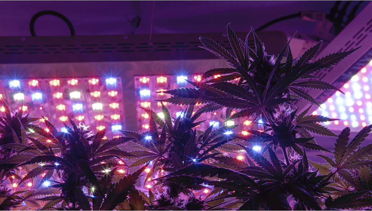 Can You Grow Autoflowers with LEDs?