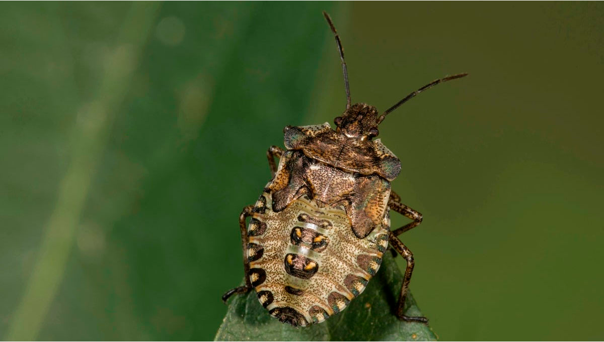 Most Common Pests in Cannabis: Stink Bugs