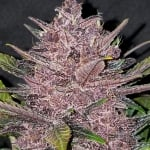 Blackberry Auto