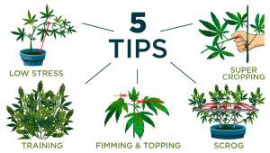5 Top Tips On Training Your Cannabis Plants