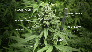 Cannabis Plants Anatomy From Seeds To Buds
