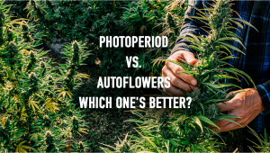 Photoperiod vs Autoflowers Which Ones Better