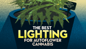 The Best Lighting for Autoflower Cannabis