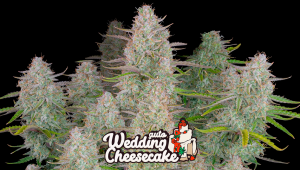 Wedding Cheesecake Auto Cannabis Strain WeekbyWeek Guide