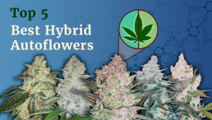 The Top 5 Best Hybrid Autoflower Strains