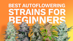 The Best Autoflowering Strains for Beginners