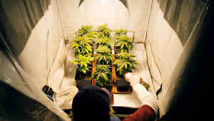 5 Top Tips For Growing Autoflowering Cannabis Strains in a Greenhouse