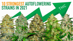 Top 10 Strongest Autoflowering Strains 2021