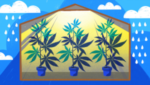 How to Grow Cannabis Indoors: a Beginners guide - 2021 (Part 1)
