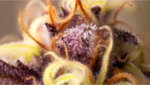 Best Ways To Boost Trichome Production