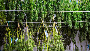 Best Conditions For Your Drying Room and How To Dry Cannabis