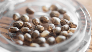 How To Store Your Cannabis Seeds