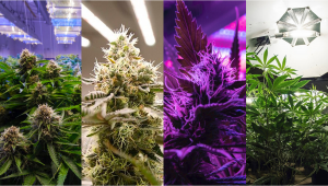 Best Light Spectrum to Grow Autoflowers