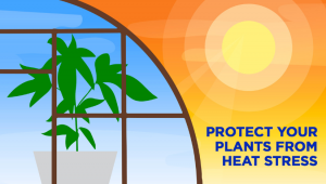 How To Protect Autoflower Strains From Heat Stress