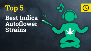 The Top 5 Best Indica Autoflower Strains