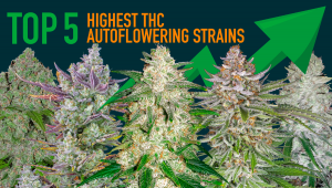Top 5 Highest THC Autoflowering Strains 2021