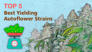 Top 5 Best Yielding Autoflower Strains