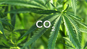 How To Increase Cannabis Yields With CO2