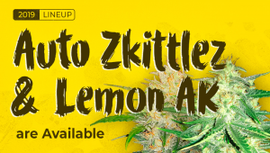 Zkittlez Autoflowers are available for the first time ever!