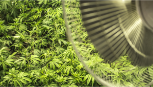 The Importance Of Air Circulation In Indoor Cannabis Grow