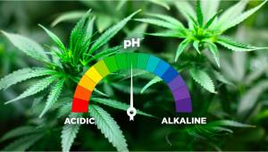 Best pH Levels For Growing Autoflowering Cannabis