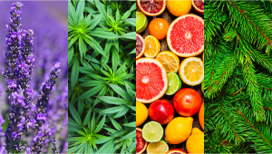 What are Terpenes and Their Effects in Cannabis