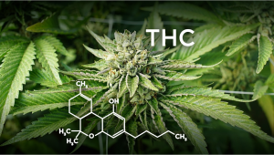 How to Increase THC in your Cannabis Plants?