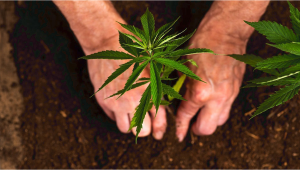 5 Reasons You Should Consider Growing Your Own Cannabis