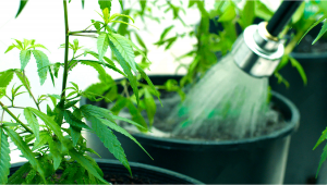 How To Flush Your Autoflowering Cannabis Plants