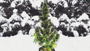 Top 10 Autoflowering Cannabis Strains For Cold Climates