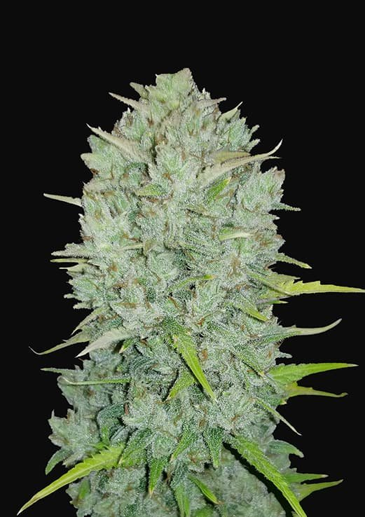 Northern Lights Auto Seeds Fast Buds Autoflowering Cannabis